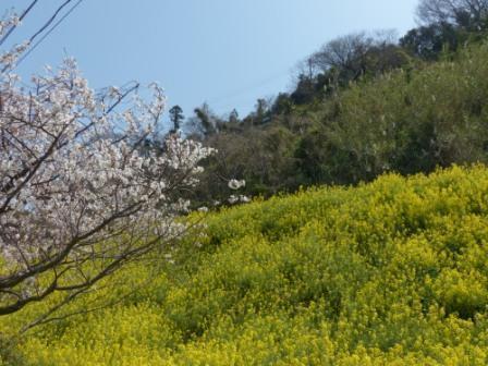 閏住地区 菜の花 & 桜 2
