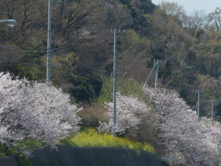 閏住地区 菜の花 & 桜 4