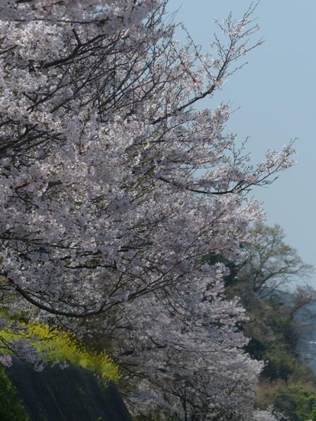 閏住地区 菜の花 & 桜 6