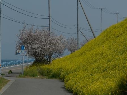 閏住地区 菜の花 & 桜 7