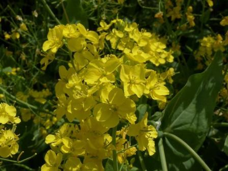 閏住地区 菜の花