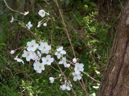 双海町 桜 4