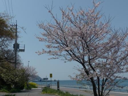 双海町 桜 & 海 3