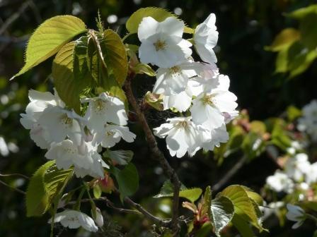双海町 大島桜