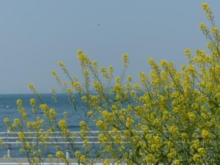 双海町 菜の花