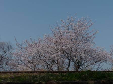 双海町 桜 1