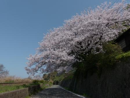 双海町 桜 2