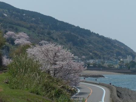 下灘駅のホームから見た桜風景 1
