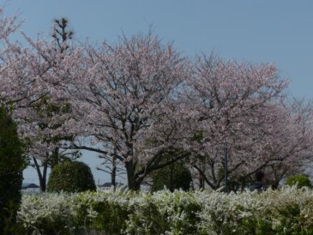 福徳泉公園 桜 2