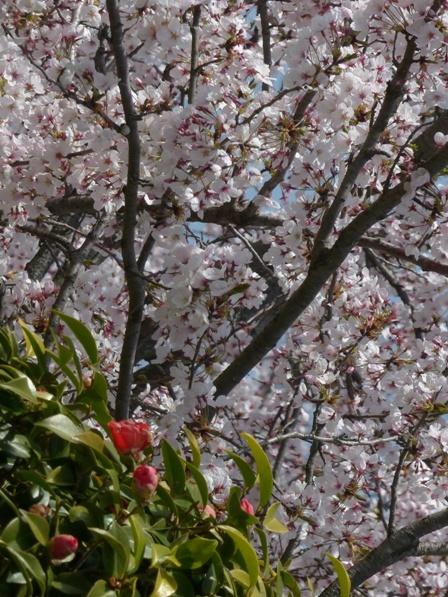 福徳泉公園 桜 3