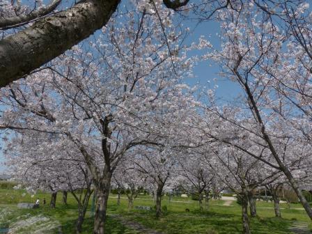 福徳泉公園 桜 6