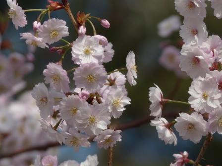 西法寺 薄墨桜 4