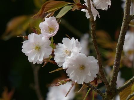 西法寺 新西法寺桜 ? 1