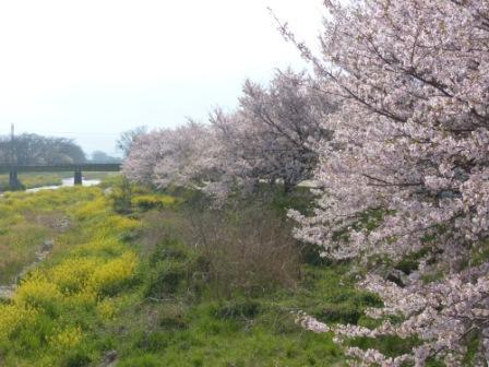 桜風景 1