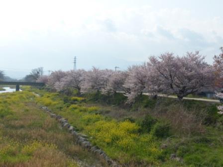 桜風景 2