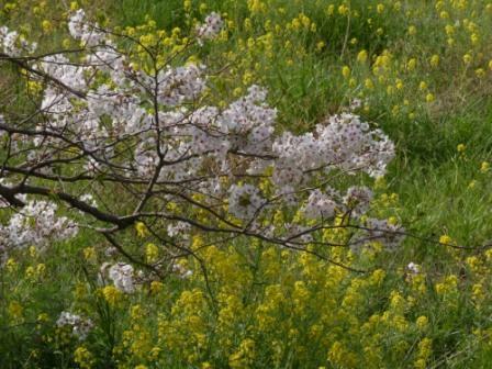 桜 & 菜の花
