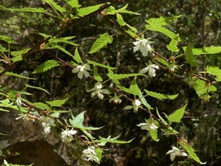 ナガバモミジイチゴ 3