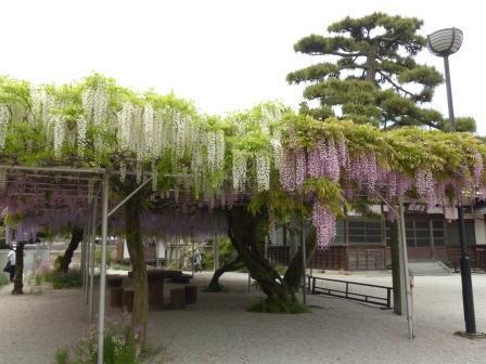 長福寺 三色の藤 7