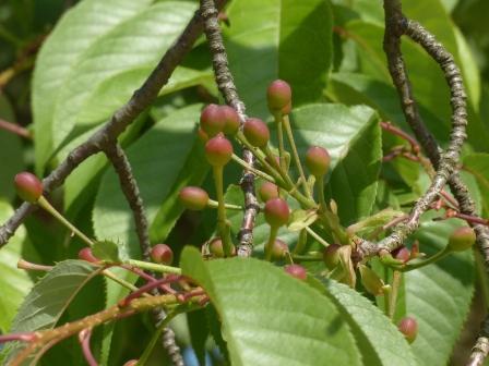 お城山 山桜の実 2