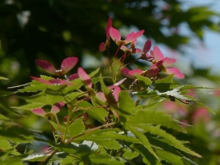 お城山 イロハモミジの翼果 2