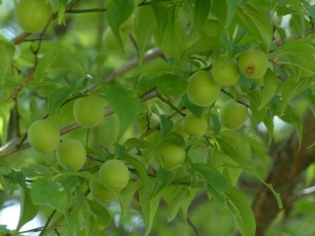 梅の実 2