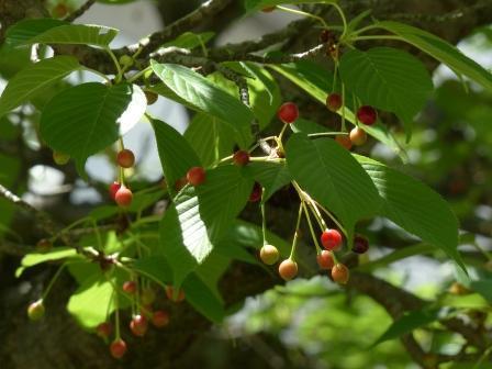 桜の実 1