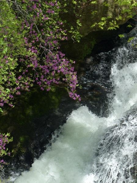 竜頭の滝 & トウゴクミツバツツジ 2