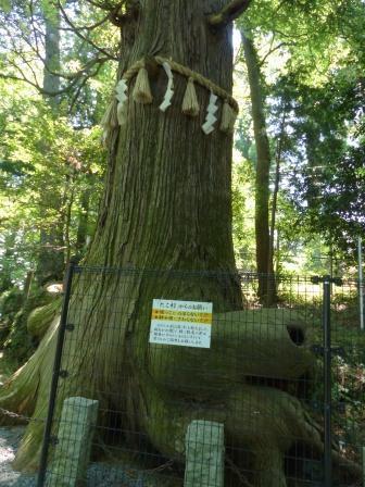たこ杉 1