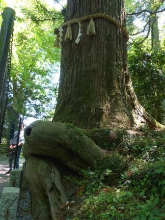 たこ杉 2
