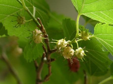 ヤマグワの果実 1