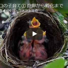 メジロ動画孵化