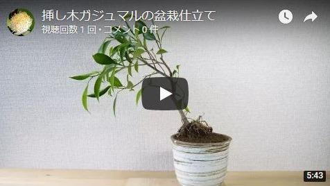 ガジュマル挿し木苗動画