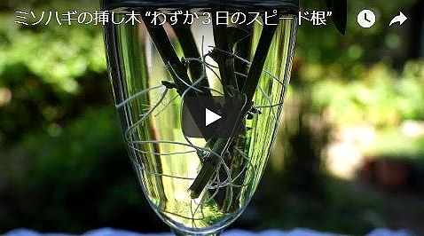 ミソハギ挿し木苗動画
