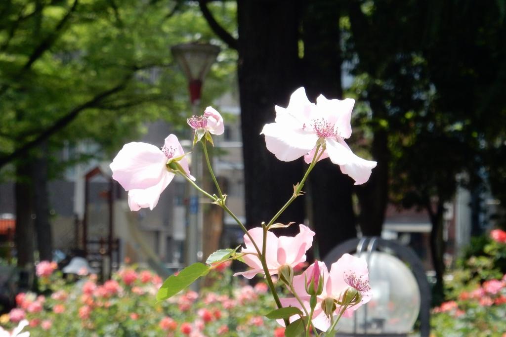 靭公園バラ 088