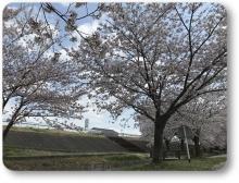 2018八木桜 (3)