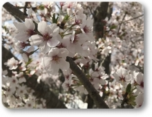 2018八木桜 (8)