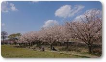 2018八木桜 (10)