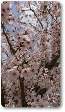 2018八木桜 (11)