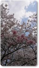 2018八木桜 (12)