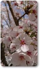 2018八木桜 (13)