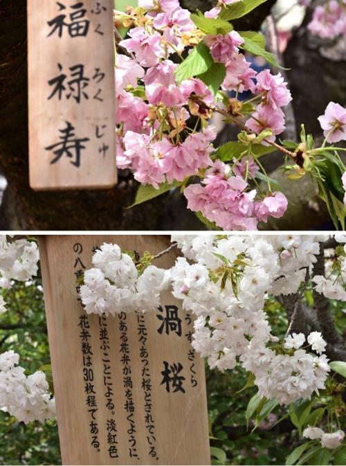 ⑧福禄寿と渦桜