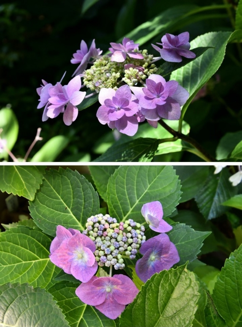 ハート額紫陽花