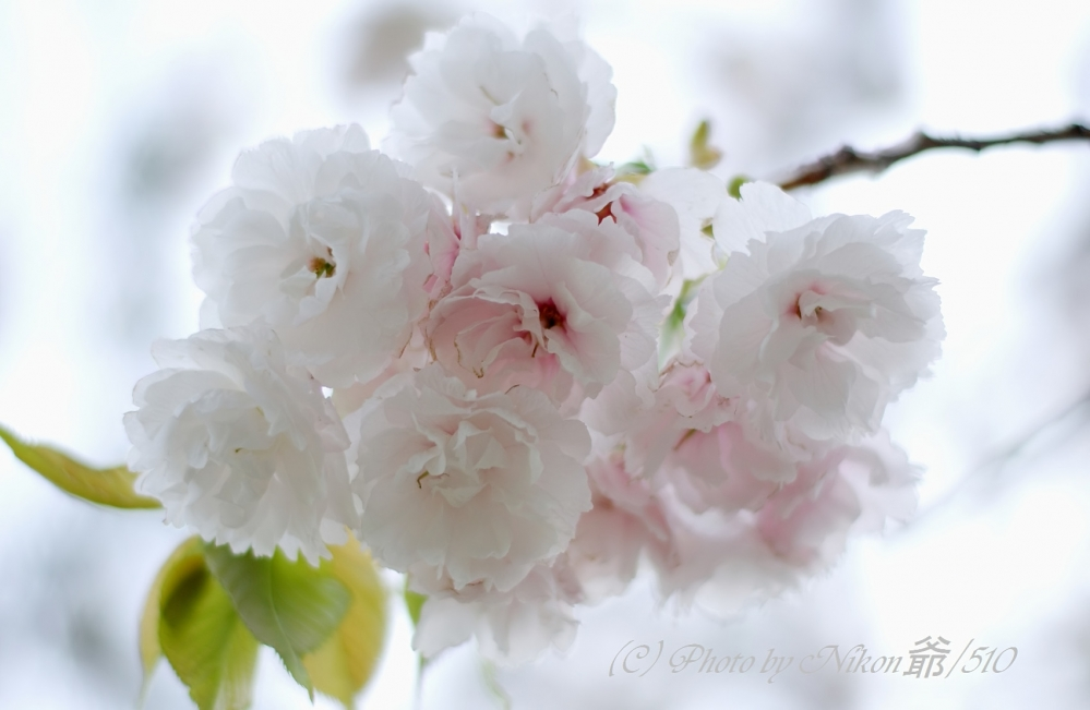八重桜2SNF