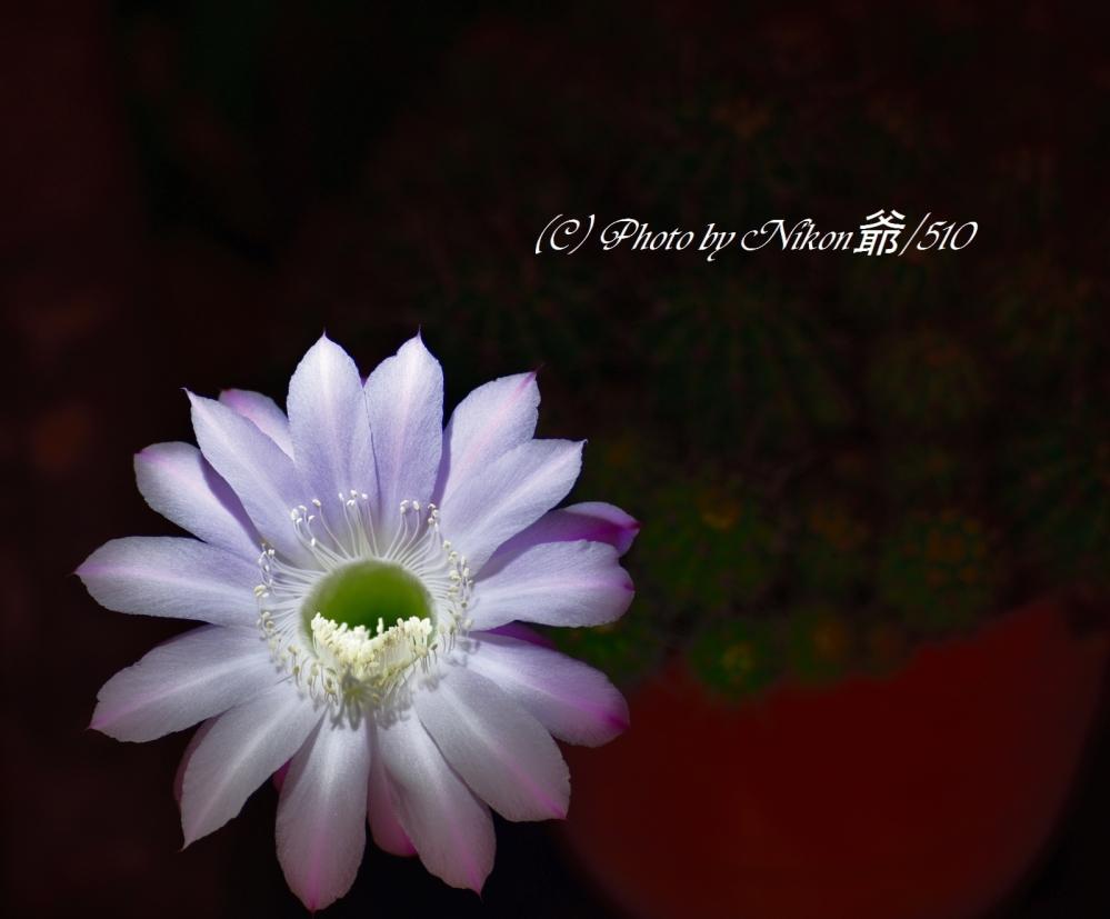 サボテンの花SN