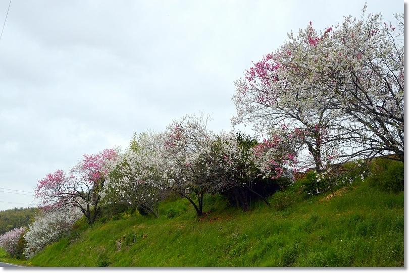 DSC_0304秘境の桜?