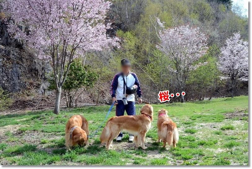 DSC_1035桜・・GWでs