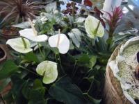 2018-01-14花と泉の公園ベゴニア館229