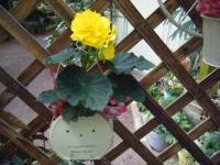 2018-01-14花と泉の公園ベゴニア館239