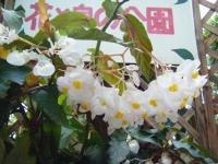 2018-01-14花と泉の公園ベゴニア館242