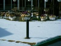 2018-01-14花と泉の公園ベゴニア館265
